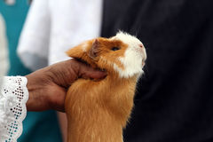 Guinea Pig to buy Stock Images