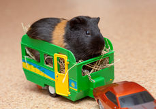 Guinea pig in trailer. Guinea pig on hay in toy trailer Royalty Free Stock Photo