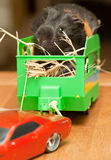 Guinea pig in trailer. Guinea pig in kid's  toy trailer Stock Photos