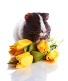 Guinea pig with tulips. Royalty Free Stock Photos