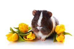 Guinea pig with yellow tulips. Royalty Free Stock Photos