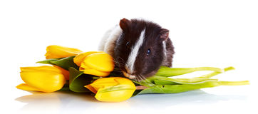 Guinea pig with tulips. Stock Image