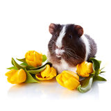 Guinea pig with yellow tulips. Stock Photo