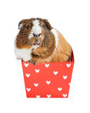 Guinea Pig in Valentine Heart Box Royalty Free Stock Photography