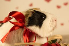Guinea Pig on Valentine`s Day royalty free stock images