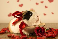 Guinea Pig on Valentine`s Day stock photos