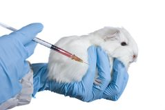 Guinea pig in veterinary hand and syringe isolated Stock Photo