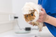 Guinea pig in the veterinary practice is examined by the veterinarian stock photos