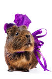 Guinea pig with a violet bow and a flower. On a white background Royalty Free Stock Images