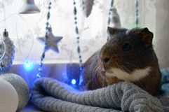 Guinea pig waiting for Christmas miracles royalty free stock photo