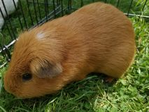 Guinea pig on walk stock images