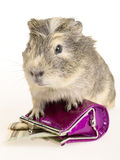 Guinea pig and wallet with cash. Royalty Free Stock Photo
