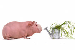 Guinea Pig and a Watering Pot with Grass Royalty Free Stock Photos