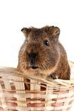 Guinea pig in a wattled basket. Portrait of a guinea pig in a wattled basket Stock Photography