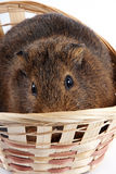 Guinea pig in a wattled basket. The frightened guinea pig in a wattled basket Stock Photos