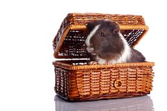 Guinea pig in a wattled basket Stock Image