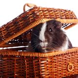 Guinea pig in a wattled basket Royalty Free Stock Photo