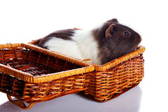 Guinea pig in a wattled basket Royalty Free Stock Photography