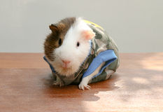Guinea pig wear clothes and sitting on the desk. Royalty Free Stock Images