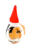 Guinea pig is wearing christmas hat Stock Photos