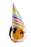 Guinea pig wearing party hat Stock Photo