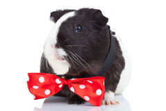 Guinea pig wearing a red bow tie Stock Photo