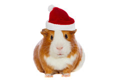 Guinea pig wearing Santa's hat. Isolated over white stock photos