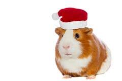 Guinea pig wearing Santa's hat Stock Photo