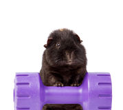 GUINEA PIG ON A WEIGHT DUMBBELL ISOLATED ON WHITE Stock Images
