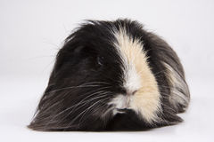 Guinea pig on white. Long haired black and white guinea pig on a white background Stock Photo