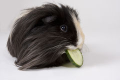 Guinea pig on white. Black and white guinea pig eating cucumber on a white background Stock Image