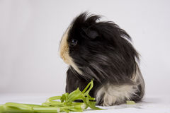 Guinea pig on white Royalty Free Stock Photo