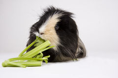 Guinea pig on white. Black and white guinea pig eating celery on a white background Royalty Free Stock Photography