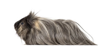 Guinea Pig. On white Royalty Free Stock Photography