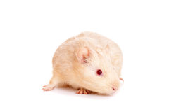 Guinea pig on a white Stock Photos