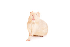 Guinea pig on a white Stock Image