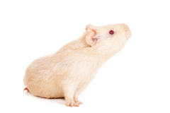 Guinea pig on a white Stock Photography