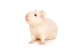 Guinea pig on a white Stock Photo
