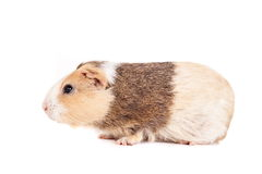 Guinea pig on a white Stock Images