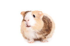 Guinea pig on a white Royalty Free Stock Photo