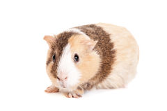 Guinea pig on a white Royalty Free Stock Photos