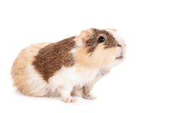 Guinea pig on a white Royalty Free Stock Photography