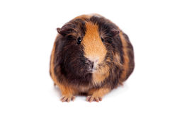 Guinea pig on a white Royalty Free Stock Images