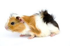 Guinea Pig. On white back ground Stock Photography