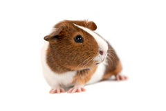 Guinea Pig on a white background Stock Photos