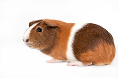 Guinea Pig on a white background Stock Images