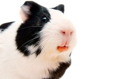 Guinea pig. On a white background. Stock Photography