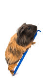 Guinea pig Royalty Free Stock Image