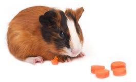 Guinea pig on white background Stock Photo