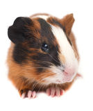 Guinea pig on white background Royalty Free Stock Photography